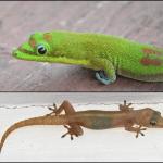 Two species of Hawaiian geckos