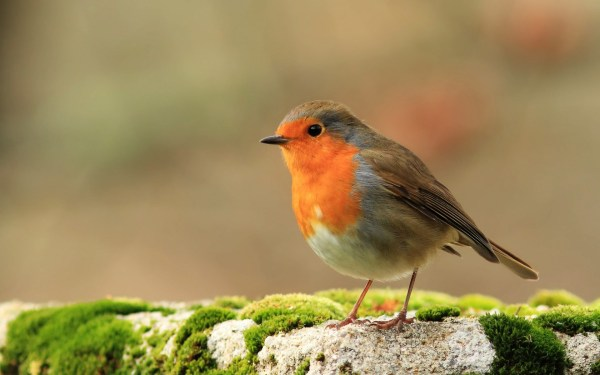 3 HD Robin Bird Wallpapers - HDWallSource.com
