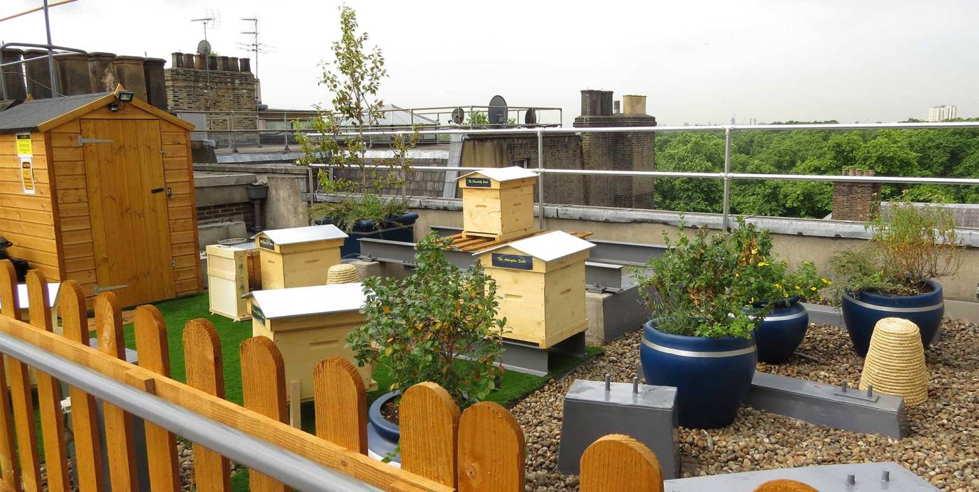 This image shows the beehives on the top of the Ritz. In a small rooftop garden there are several small beehives and lots of plants surrounding them.