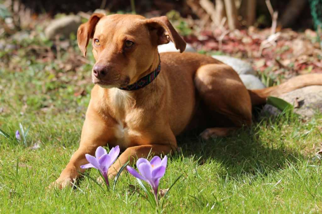 Hund liegt an Ostern im Garten und spielt mit einem Ei.