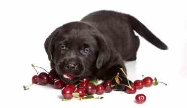 Ein schwarzer Labrador Welpe liegt vor ein paar Kirschen und möchte diese fressen