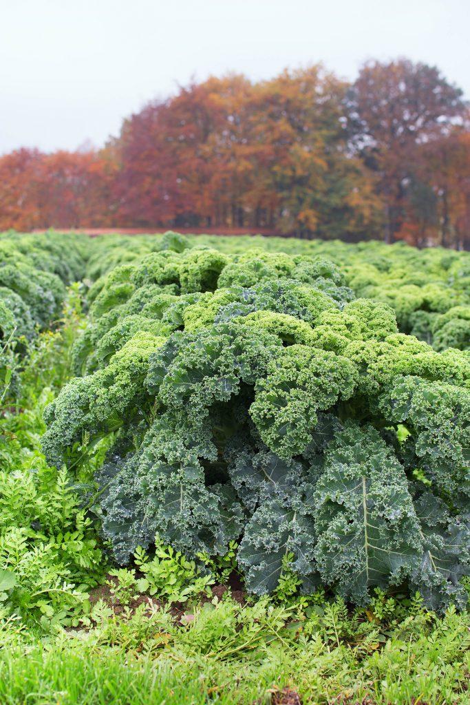 Zu Besuch auf dem Grünkohlfeld: Grünkohl