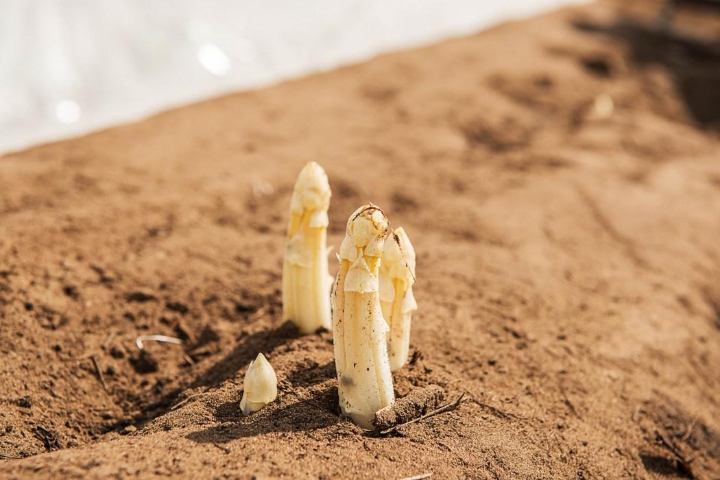 Unser regionaler Lieferant für Spargel: Spargel Anbau