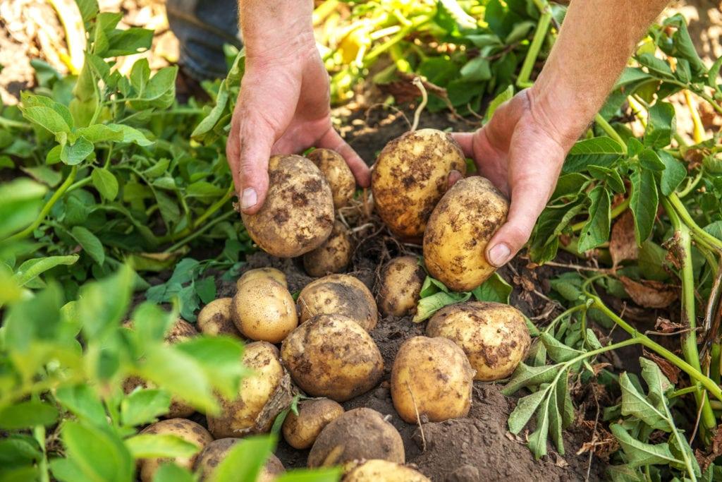 Die Kartoffelernte