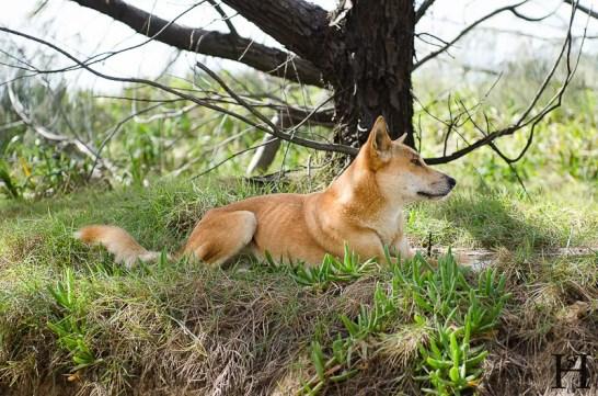 20120501-095637-Australien, Dingo, Fraser Island, Great Sandy Nationalpark, Weltreise-20120501-095637-Australien-Dingo-Fraser-Island-Great-Sandy-Nationalpark_DSC9831