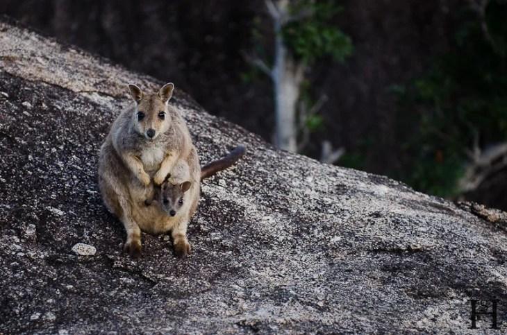 20120516-065958-Atherton Tableland, Australien, Granite Gorge, Wallabies, Weltreise-20120516-065958-Atherton-Tableland-Australien-Granite-Gorge-Wallabies_DSC2143