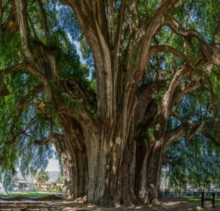 20120801-105306-Baum-Mexiko-Tour-Tule-Weltreise-_DSC0453-_DSC0464_12_images_pano
