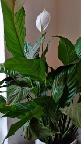 Spathiphyllum wallisii - Einblatt