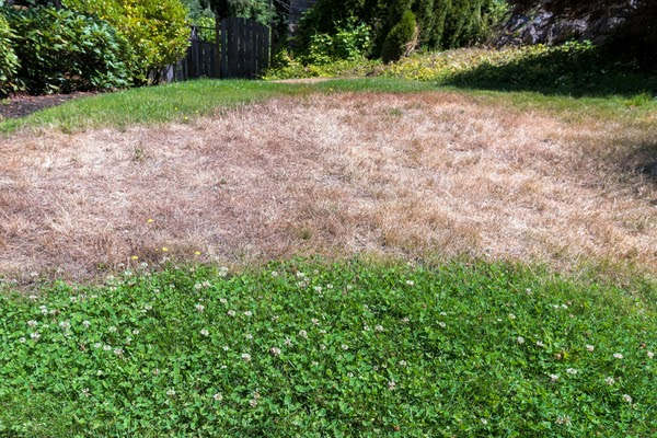 dry grass in backyard
