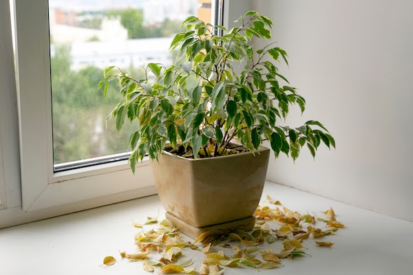house plant with yellow and dead leaves
