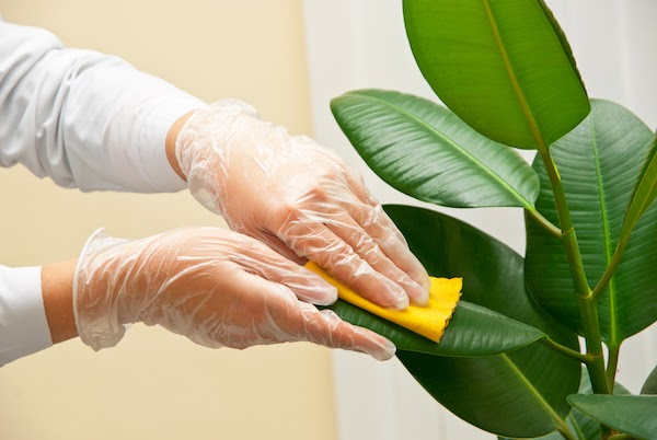 person wiping plant leaves to clean them