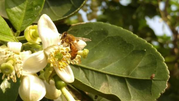 田間放蜂計畫-蜜蜂