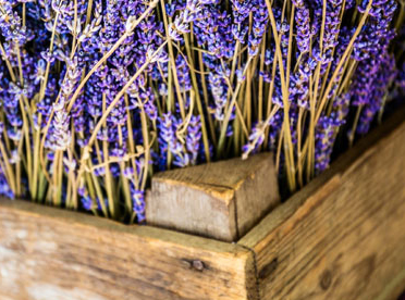 Fresh lavender in a basket.