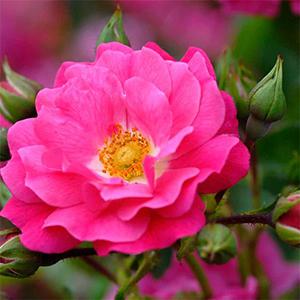 Flower Carpet Roses
