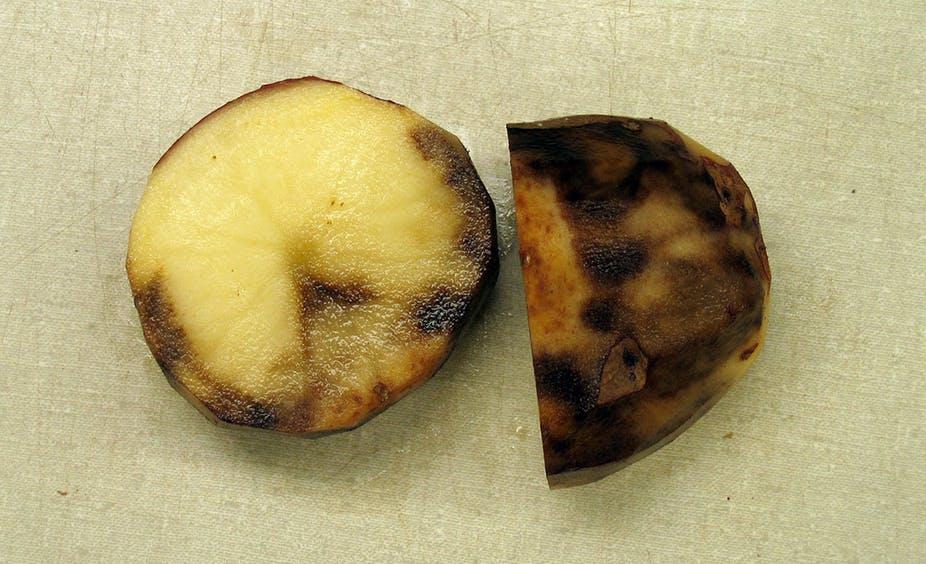 Potato Blight on potato