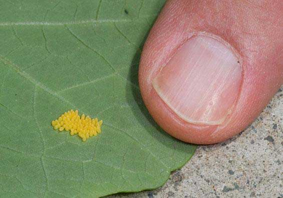 Caterpillar Eggs on a leaf.