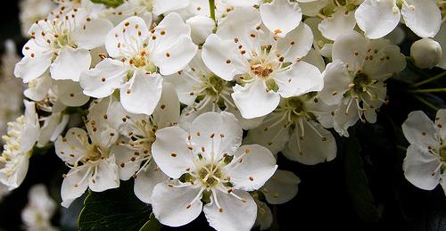 Firethorn Flowers