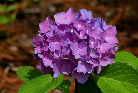 Hydrangea Purple Dance