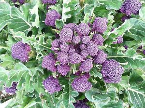 Purple Brocolli