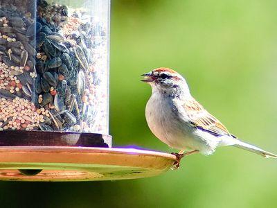 Bird feeding in garden.