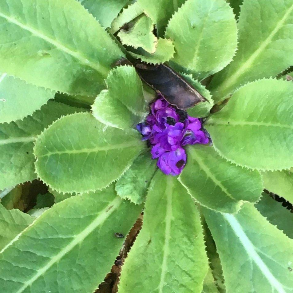 Horkans Purple Primrose growing