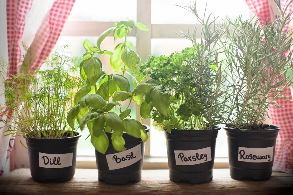 Herbs growing in pots on a window sill.