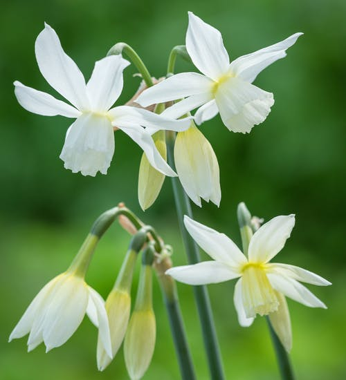 Triandrus Daffodils