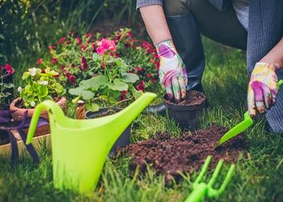Planting cyclamens