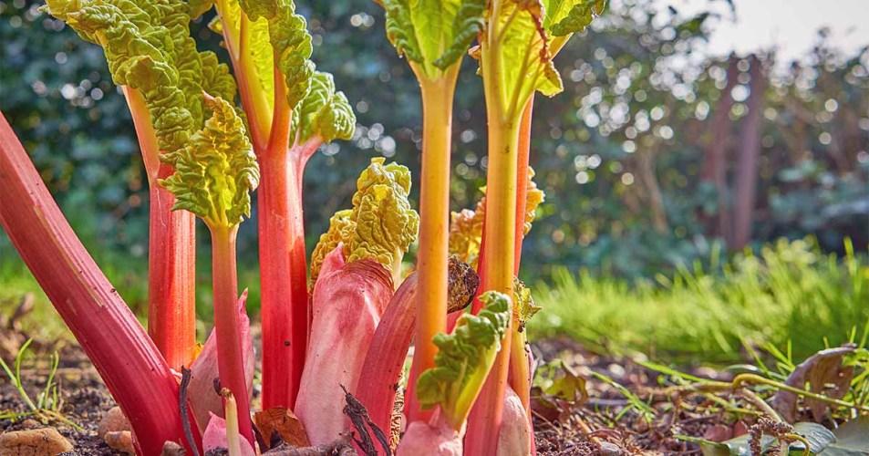 Planting Rhubarb