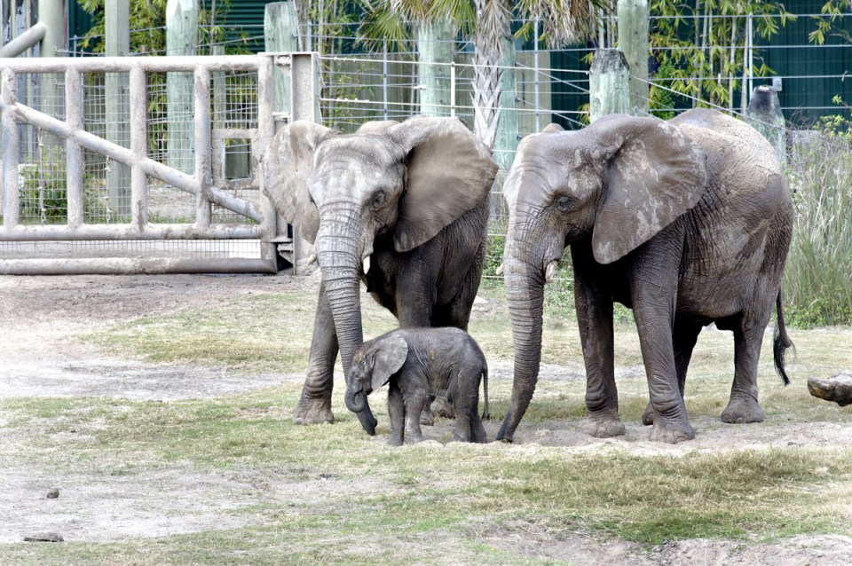 two big elephants and one baby elephant inside of a zoo