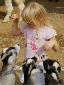 three hungry goats wanting food from a little girl at the petting zoo.