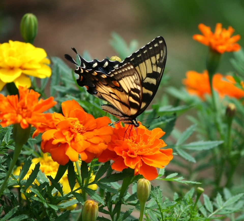 swallowtail butterfly sipping nectar from marigold plants