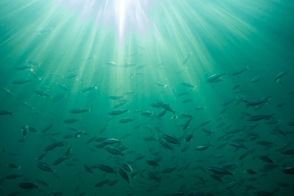 tons of fish swimming together in blue green water with sunlight shining through the surface