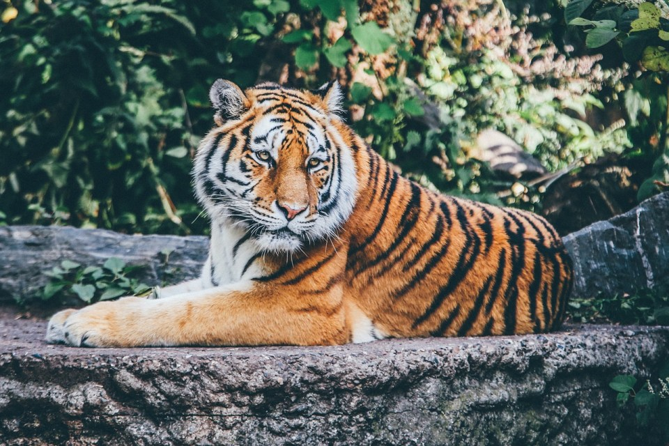 close up of tiger sitting on a rock with trees in background