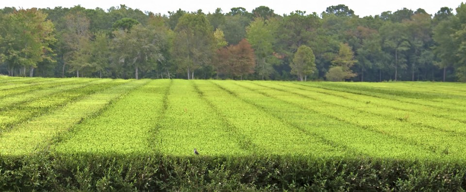 Panoramic view of the tea plants whose leaves are harvested and processed for making tea