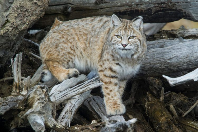 Colorado, Idaho make reckless decisions to persecute bobcats, mountain lions and other wildlife