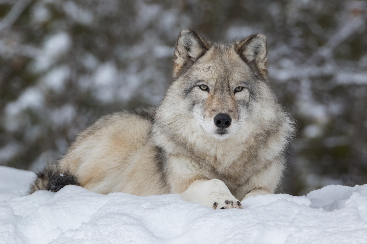Idaho lawmakers on verge of sanctioning a carnage of 90% of the state's wolves