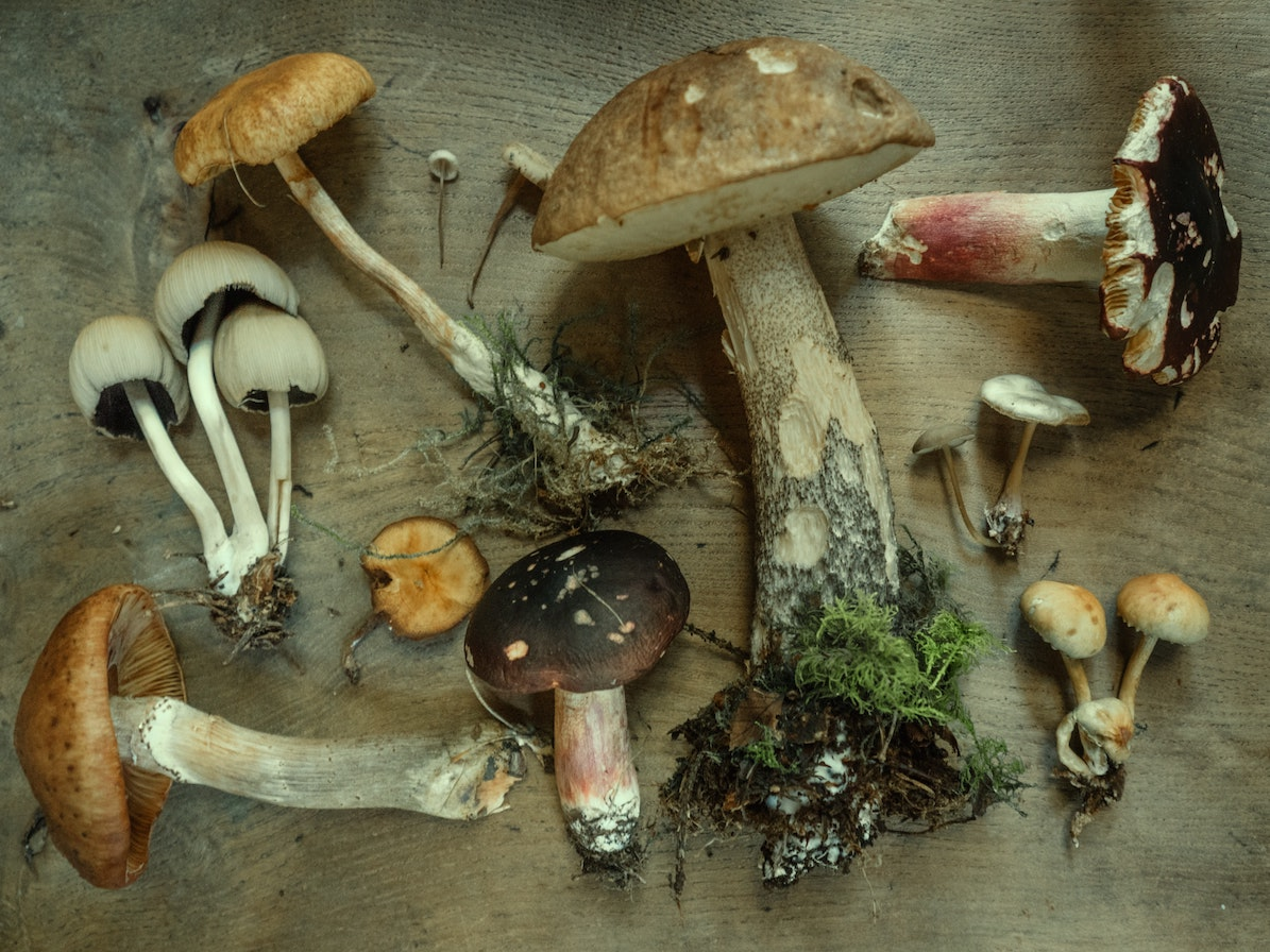 Immunity Effects of Edible and Medicinal Mushrooms. Podcast with Jeff Chilton