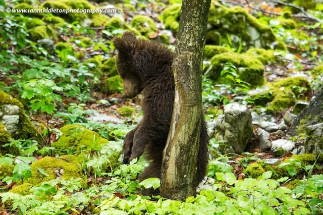 European brown bear in Slovenia