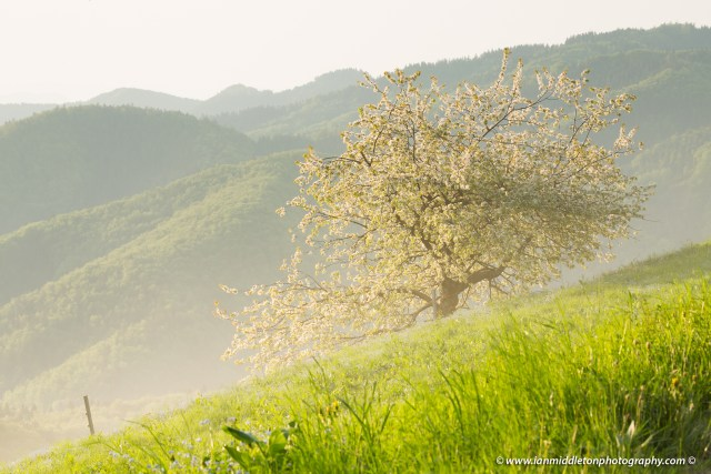 Tree in bloom on a spring morning in Jamnik village, perched on a hill on the Jelovica Plateau, Slovenia.
