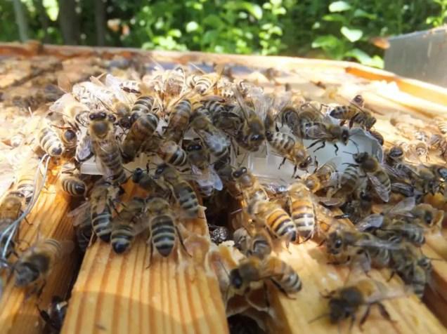 """Königin im Zusetzkäfig. Die Weisellosen Bienen nehmen sofort Kontakt mit der """"gut duftenden"""" neuen, legenden Königin auf. Die Steuerung der Vorgänge im Bienenvolk hängt nicht zuletzt von den Pheromonen, den hormonellen Duftstoffen der Bienenkönigin ab."""