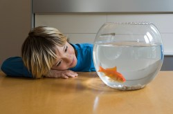 Child looking at goldfish