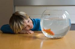 Child looking at goldfish
