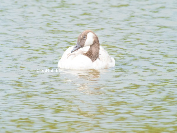 Pale Canada Goose