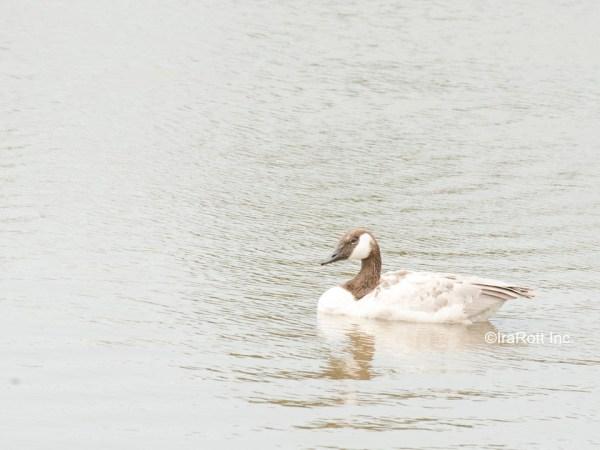 Pale Canada Goose 2