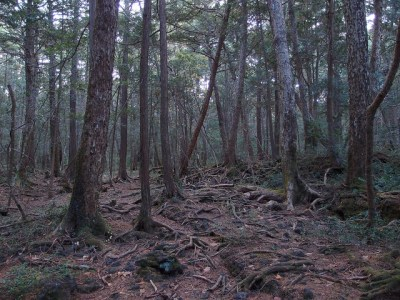 A view of Japan's Suicide Forest (Aokigahara). Photo by Guilhem Vellut via Flickr Creative Commons.