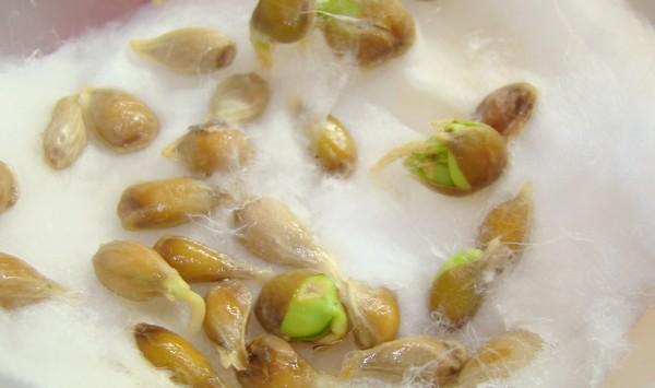 faire pousser noyau pepin clémentine