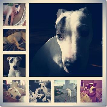 bella the p itbull collage jrpny