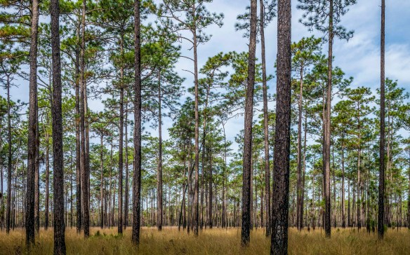 a  Longleaf pine and Wiregrass ecosystem just north of Apalachicola