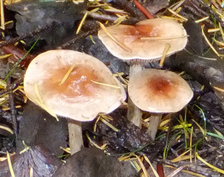 Mushrooms under Fir